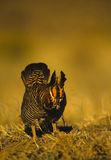 Prairie Chicken on Lek Royalty Free Stock Image