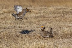 Prairie Chicken Scuffle Royalty Free Stock Photography