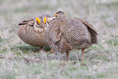 Prairie Chicken showdown Royalty Free Stock Photography