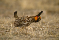 Prairie Chicken Strutting Royalty Free Stock Images