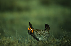 Prairie Chicken Strutting  on Lek Royalty Free Stock Photography
