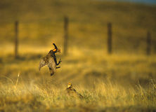 Prairie Chickens Fighting. Prairie chickens display dominace as they spar on spring lek Stock Image