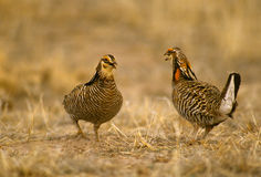 Prairie Chickens on Lek Stock Photos