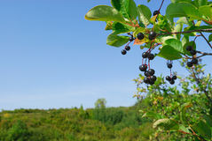 Prairie Chokecherry. Choke cherries native in Canadian Prairie. A biiter dark red fruit with large pit royalty free stock image