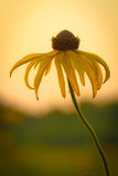 Prairie Coneflower. Ratibida pinnata, Aster family in Cherokee National Prairie, Charleston, Arkansas, at sunset stock photos