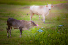 Prairie and cows Royalty Free Stock Image