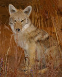 Prairie Coyote Stock Photos