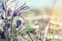 Prairie crocus, cutleaf anemone Royalty Free Stock Photography