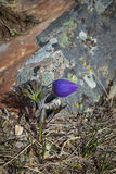 Prairie Crocus. Photographed in the Rocky Mountains of Alberta Canada Royalty Free Stock Photography