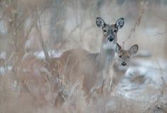 Prairie de cerfs communs photographie stock