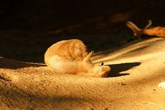 prairie de crabot noir suivie Images stock