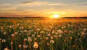 Prairie de fauche de pissenlit au coucher du soleil Image stock