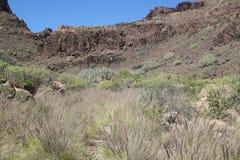 Prairie de marche de cuvette de traînée à un paysage avec des usines d'euphorbe dans mamie Canaria, Espagne images stock