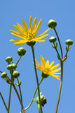 Prairie Dock Standing Tall. Photograph of a tall Prairie Dock wildflower towering above the photographer with a blue summer sky behind stock photo