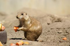 prairie dog 1 Royalty Free Stock Images