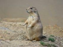Prairie Dog stock photography