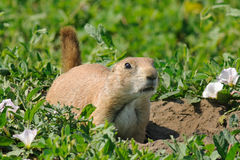 Prairie dog. Alert prairie dog by his burrow Stock Photo