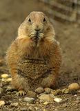 Prairie dog. In the nature Royalty Free Stock Photo