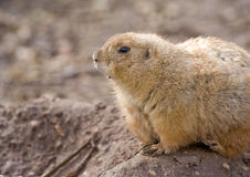 Prairie Dog. Sitting starring intensely Stock Photography