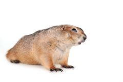 Prairie dog royalty free stock photo