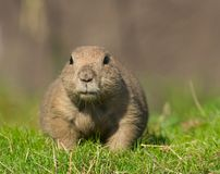 Prairie Dog. Animal, attention, awake, brown, cute, dig, dirt, dog, ground, mammal, miniature, nature, pose, prairie,  small, stare, tiny, whiskers, zoo Stock Photography