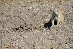 Prairie Dog. A prairie dog in Badlands, South Dakota Royalty Free Stock Photos