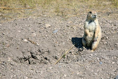 Prairie Dog. A prairie dog in Badlands, South Dakota Stock Image