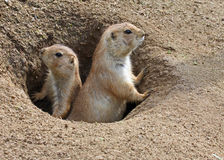 Prairie Dog. S Standing and Looking Curious stock photography