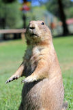 Prairie dog. Closeup view of a curious Prairie Dog standing upright stock photo