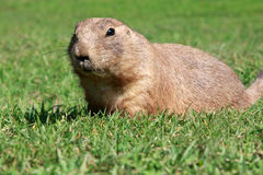 Free Prairie Dog Royalty Free Stock Photos - 15401558
