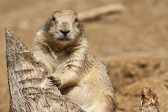 Free Prairie Dog Royalty Free Stock Photography - 16477537