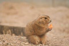 Prairie Dog Stock Photos