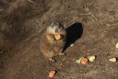 Prairie Dog. Royalty Free Stock Photo