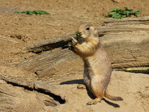 Prairie dog Royalty Free Stock Photos