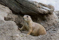 Prairie Dog. A Prairie Dog ventures out at the onset of the summer evening stock image