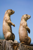Prairie Dog. In the warm summer sun stock photo