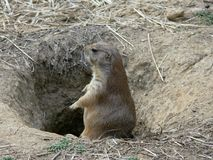 Prairie Dog 2 Royalty Free Stock Photography