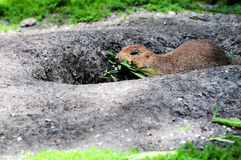 Prairie Dog. A groundhog brings some food into its borrow Royalty Free Stock Image
