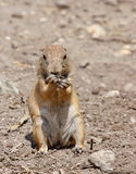 Prairie dog. A close view of a prairie dog, during its lunchtime Royalty Free Stock Photography