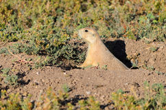Prairie dog. In Wind Cave National Park Royalty Free Stock Photography