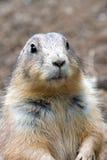 Prairie Dog. Clouse up royalty free stock photos