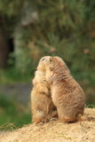 Prairie dog Stock Image
