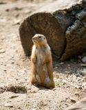 Prairie Dog. Standing to attention stock images