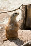 Prairie Dog. Standing to attention stock photos