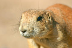 Prairie dog Royalty Free Stock Images
