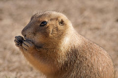 Prairie Dog. One of a multitude of prairie dogs near devils tower Wyoming royalty free stock photography
