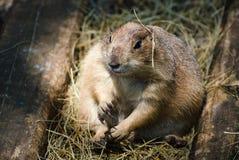 A Prairie Dog Stock Image