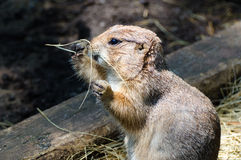 A Prairie Dog Stock Photo