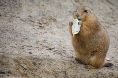 Prairie dog Stock Images