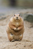 Prairie dog. Chubby prairie dog sitting looking Stock Image